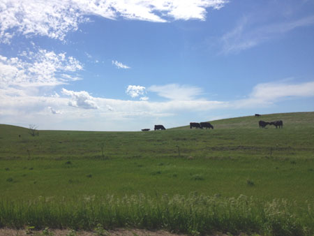 cows in south dakota