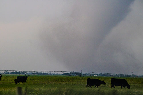 we've got cows tornado