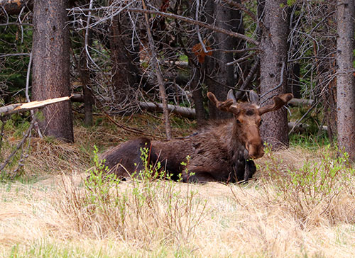 moose in rocky mountain national park